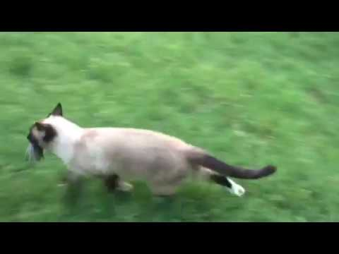 Nature is Metal: Domestic Cat (rag doll) catches big mouse