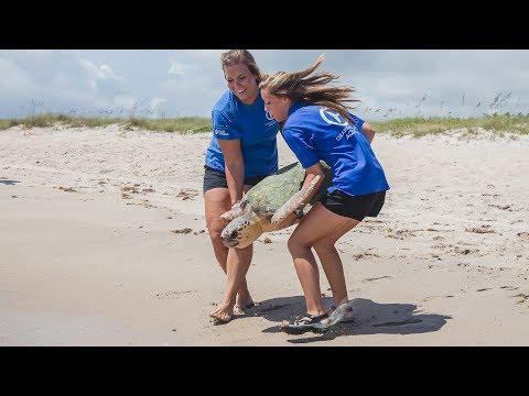 Triple Sea Turtle Release on East Coast of Florida