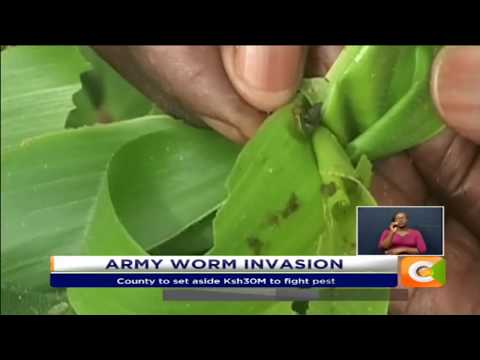 Bungoma County says over 10% crops attacked by Army worms