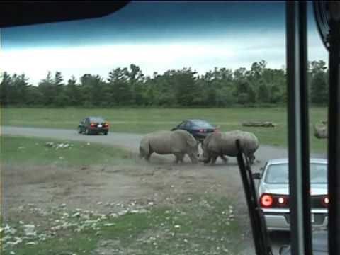 Rhino Fight at African Lion Safari, Canada