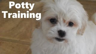 How To Potty Train A Zuchon Puppy - Zuchon House Training Tips - Housebreaking Zuchon Puppies Fast
