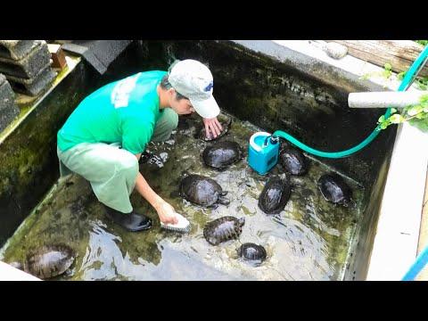 【池の水ぜんぶ抜く】庭にあるカメ池の水を全部抜いて掃除します!