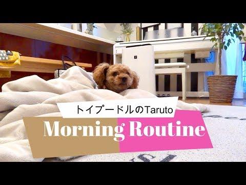 【Morning Routine 2018】平日バージョン! トイプードルのTaruto