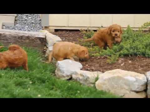 Cavapoo Puppies For Sale Levi Jr  and Priscilla Stoltzfus