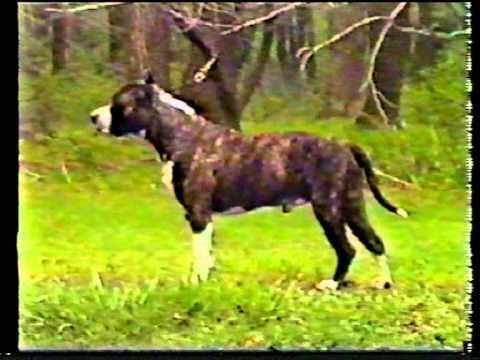 AKC 1989  The American Staffordshre Terrier Part 2.mpg