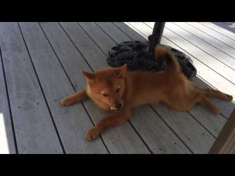 Finnish spitz enjoyed a treat (4 months old)