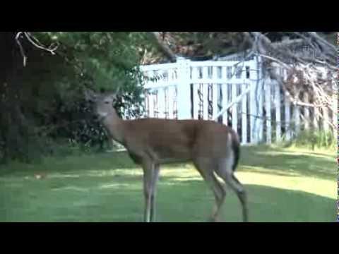 EHD Deer Drowns