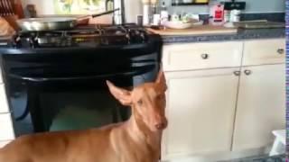 Pharaoh Hound Zuko Politely Asking for Chicken