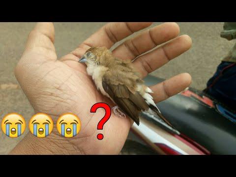 The Little Bird Heart Attack