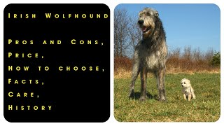 Irish Wolfhound. Pros and Cons, Price, How to choose, Facts, Care, History