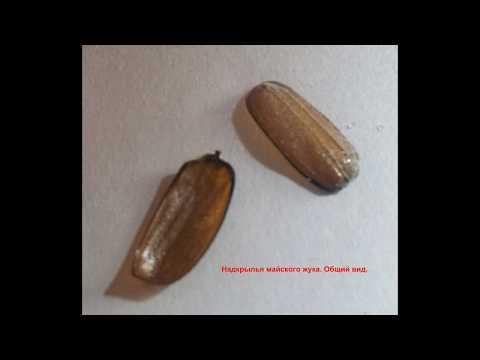 Вопрос: Сколько взмахов крыльями в секунду делает майский жук?