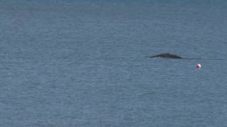 Hump Back Whale seen at Slapton Sands Torcross South Devon