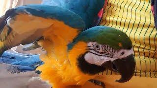 Говорящий попугай ! talking parrot! (видео прикольного попугая - Ара) talking parrot -Ara