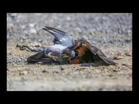 Aplomado Falcon Hunting (falconry)