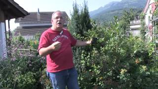 Aronia melanocarpa - Black chokeberry