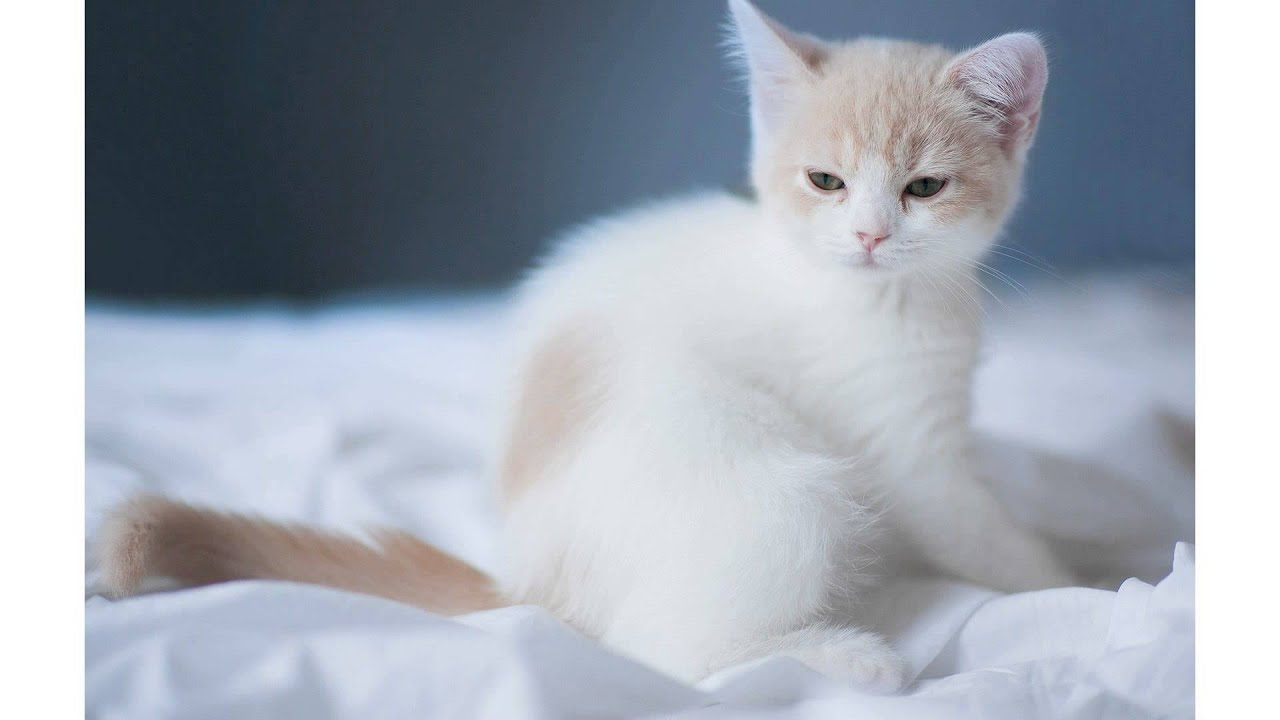 cute white cat wallpaper - youtube