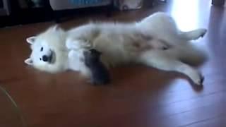 Котенок и Лайка самоед