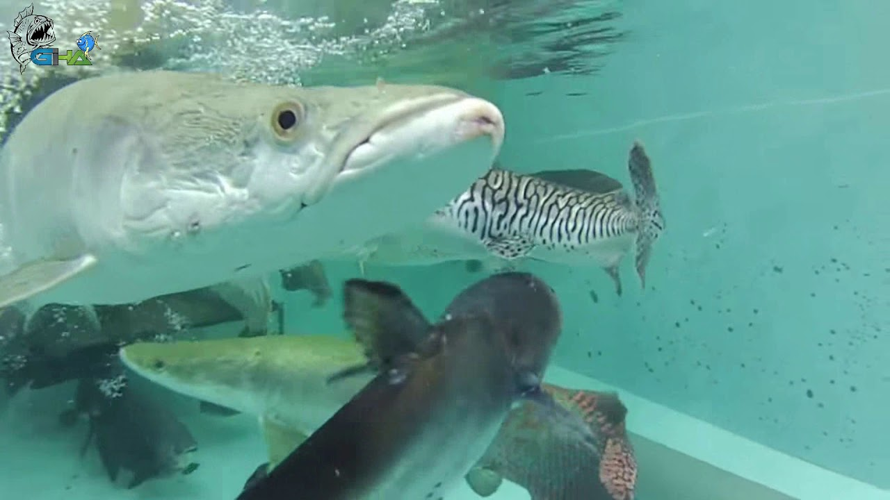 Unduh 4400 Koleksi Gambar Ikan Arapaima Terpopuler
