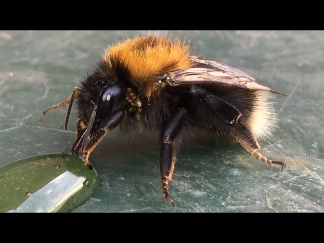 Bee Drinking Sugar Water