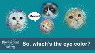 Eye color of purebred Scottish Fold, Straight and British cats