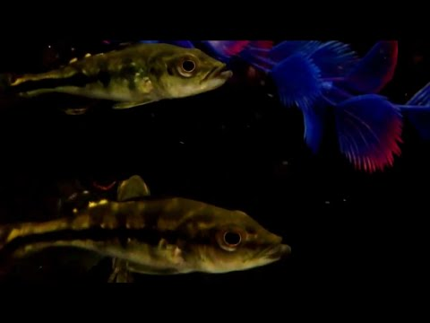 Monoculus Peacock Bass Cichlid - Tropical Freshwater Fish For Sale