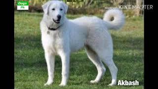 All about Akbash dog | Akbash dog history, size, personality, health, feeding, etc |