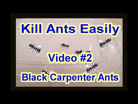 Easy Diy How To Get Rid Of Black Carpenter Ants Garden Termite Kind