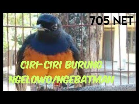 Salah Satu Ciri Burung Ngelowo Akibat Jarang Dilombakan/Ditrek