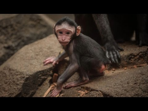 Watch Rare Baby Monkey Get Hair Pulled Right After Being Born