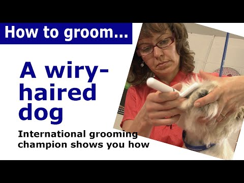 How to groom dog with wiry hair - wire haired dog grooming demonstration