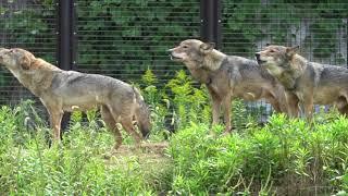 多摩動物公園のオオカミ.