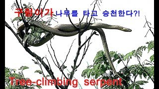 구렁이가 나무를 타고 승천한다?! Tree-climbing serpent