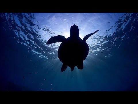 Sea Turtles an indicator of sustainability NEW YORK UNIVERSITY ABU DHABI ARCHELON
