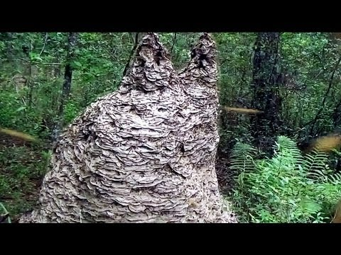 Massive 8ftx6.5ft yellow jacket nest with thousands of queens and millions of workers