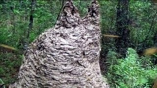 MASSIVE Yellow Jacket wasp nest in Florida thumbnail
