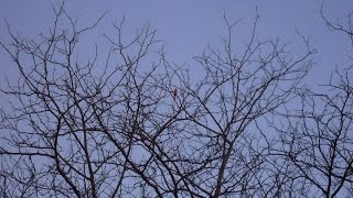 Divine Music of Cardinal Chirping on March 4, 2016