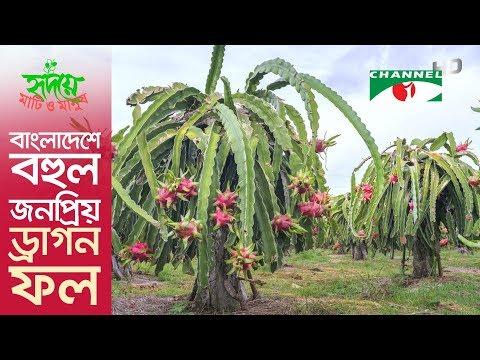 Dragon fruit becomes hugely popular in Bangladesh