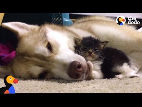 Husky Dog Adopts Stray Cat Saving Her Life | The Dodo: Comeback Kids