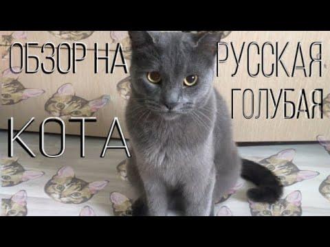 Обзор на русскую голубую кошку