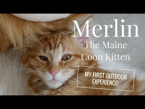 Merlin the Maine Coon Kitten (15 Weeks) - My First Outdoor Experience!