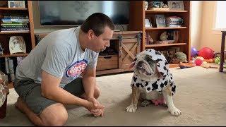 reuben-the-bulldog-happy-halloween