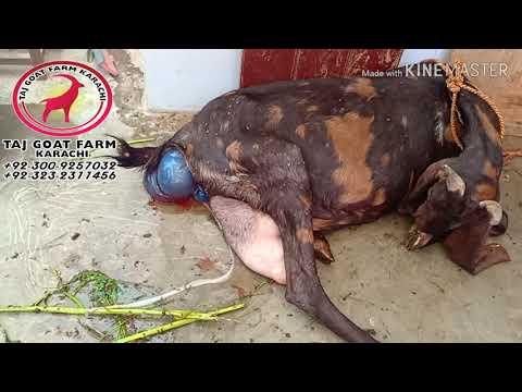 Baixar Taj Goat Farm Karachi - Download Taj Goat Farm Karachi | DL