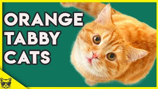 Orange Tabby Cats 101  What You Need To Know About Them