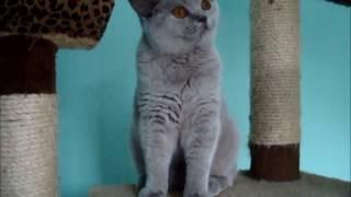 Лиловая британская кошка  На видео 8 мес