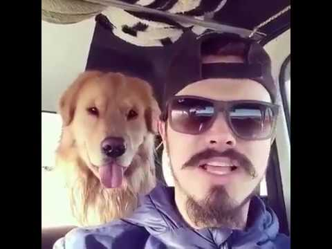 Golden Retriever copies his human