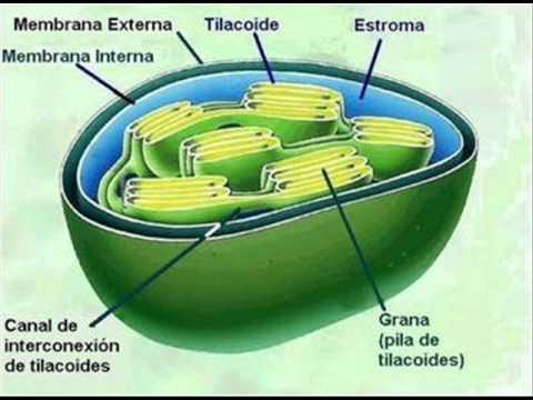 El papel de la clorofila (1).wmv - YouTube