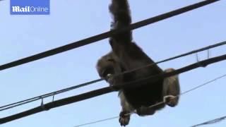 Шимпанзе ударило током