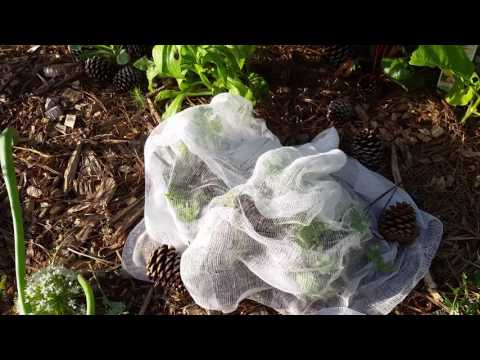 Cheesecloth To Rescue My Kale