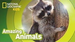 Raccoon | AMAZING ANIMALS