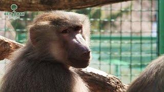 Плащеносные павианы Фельдман Экопарк / Feldman Ecopark's hamadryas baboons(Семейство гамадрилов или плащеносных павианов Фельдман Экопарк – настоящие любимцы посетителей! Многие..., 2016-05-06T06:39:33.000Z)